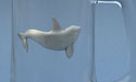Killer Whale Beer Mug - Lead Free Pewter